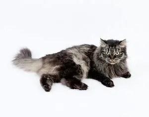 Siberian Cat Names