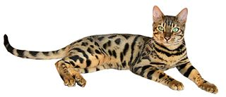 Tabby Cat Names_Cat Names City_Bengal Cat