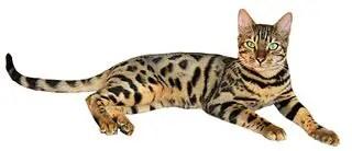Tabby Cat Names_Cat Names City_Bengal Cat