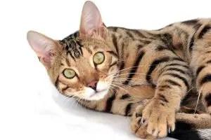 girl bengal cat names