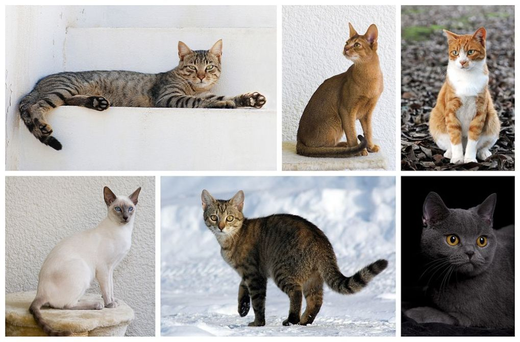 Which cat breeds are the best for you?