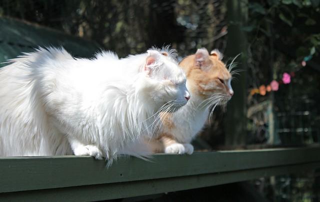 American Curl Cat Hypoallergenic