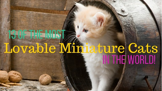 miniature-cat-breeds