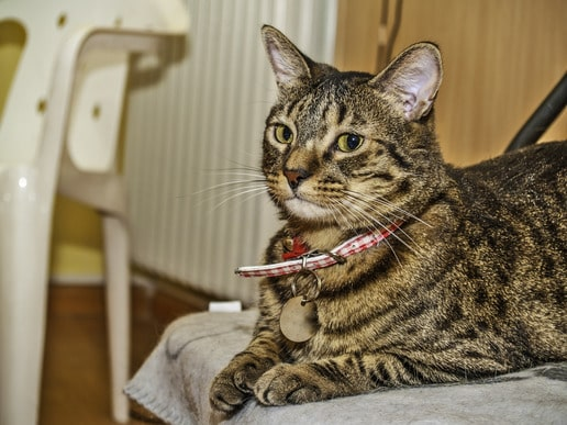4 Best Flea Collar For Cats And How To Use It Cat