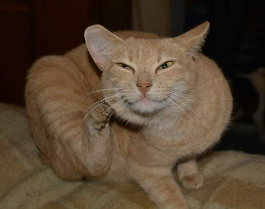 cat scratching because of dandruff