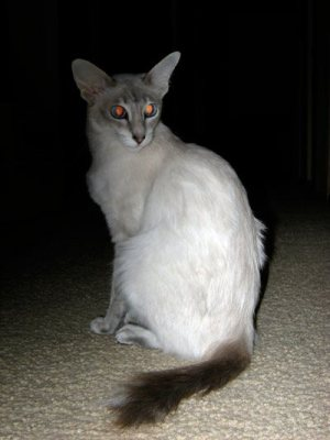 Javanese_cat