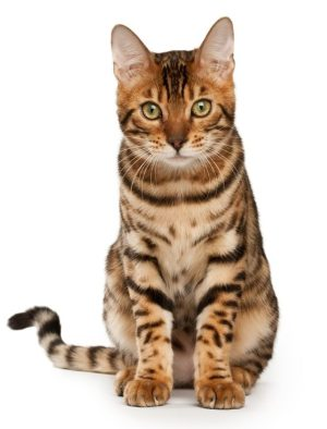 Top 13 Hypoallergenic Cat Breeds For People With Allergies