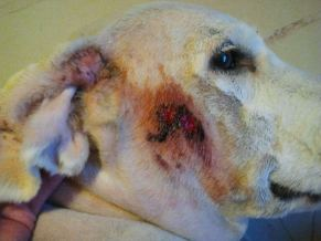 Infection de la peau avant le traitement, le chien s'est gratté jusqu'au sang