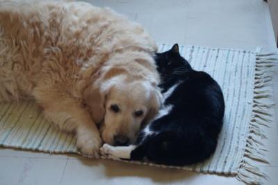Umi, golden retriever de 13 ans avec son amie chat Miau
