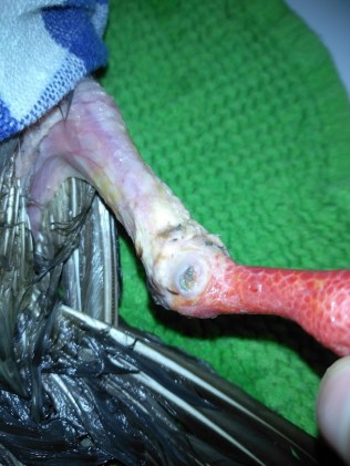 infection arthrite patte pigeon