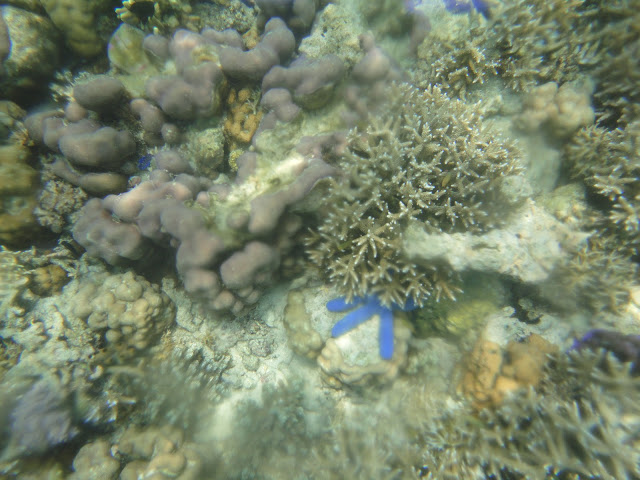 Ada yang tahu kenapa bintang laut itu selalu nyempil diantara terumbu karang?