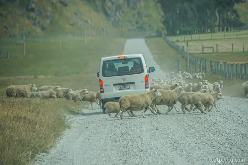 New Zealand, negara yang dikuasai sapi dan domba~ Katanya sih gitu XD