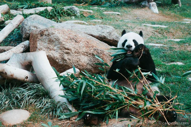 Aaaak! Pandanya lucu banget!