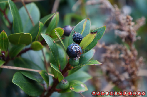 Buah dari pohon penuh khasiat ini warnyanya hitam. Namun buah ini bisa dimakan, rasanya agak manis, dan bisa menambah stamina ketika mendaki :)