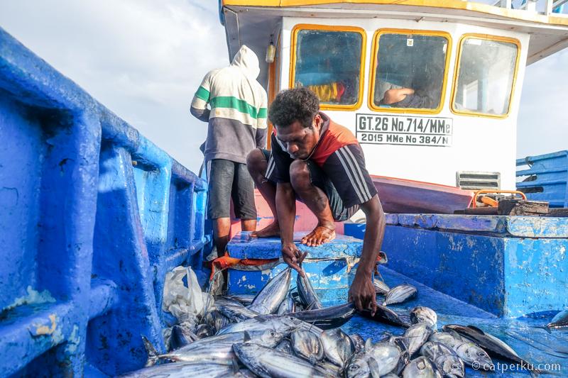 Dapat ikan Cakalang lumayan banyak!