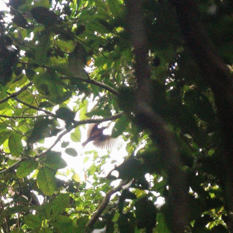 Harusnya saya bisa mendapatkan foto Burung Bidadari lebih jelas jika menggunakan lensa 400 mm