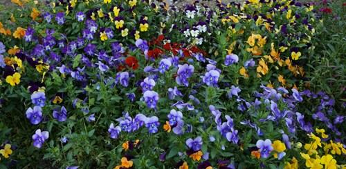 Melihat yang seperti ini, jadi ingin punya rumah yang banyak bunga berwarna - warni ^^