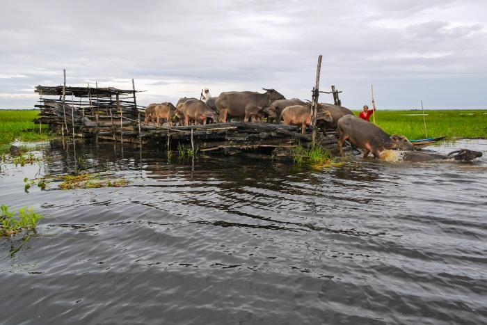 Ketika Kerbau Rawa Danau Panggang dilepas dari kandangnya