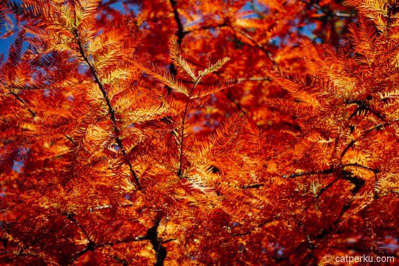 Lihat warna Autumn di Mount Wilson lebih dekat