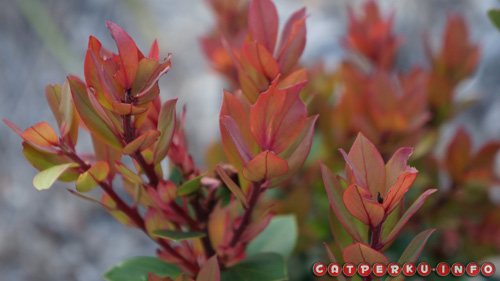 Daun muda si cantik yang merah merona, pohon sederhana namun penuh khasiat dan manfaat!