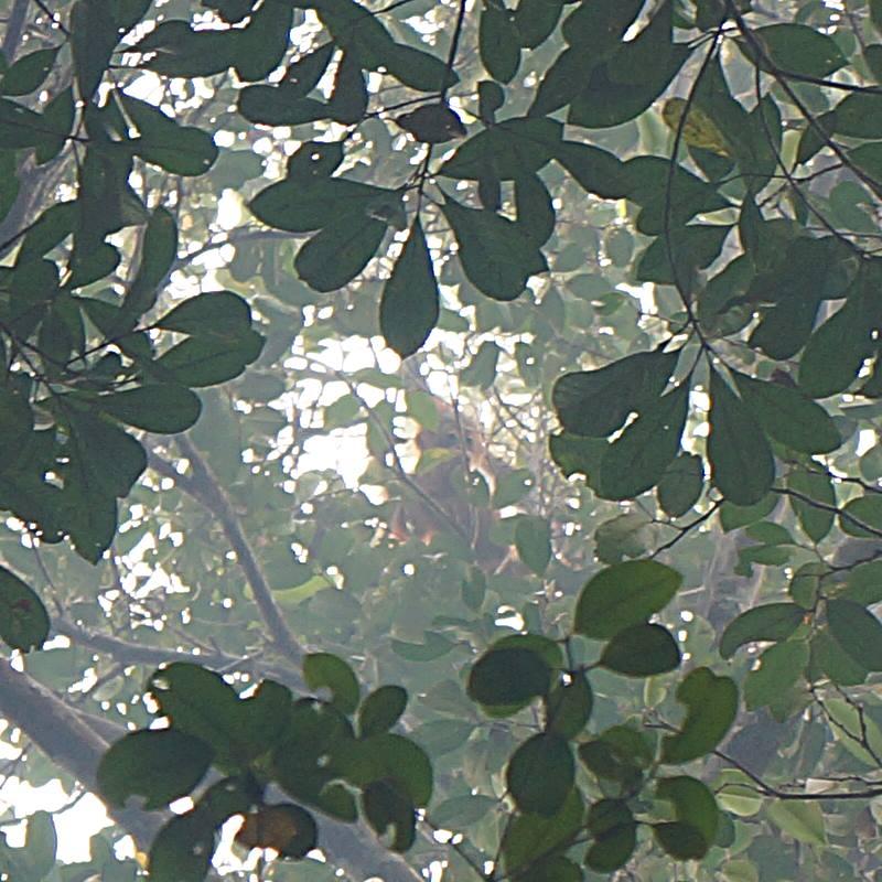 Meskipun nggak pake lensa tele, cukup senang bisa mengabadikan Orang Utan di alam liar seperti di Taman Nasional Sebangau ini!