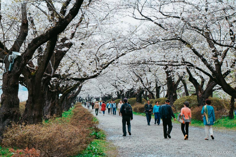 Musim sakura biasanya orang Jepang juga pada keluar melihat sakura.