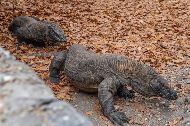 Orah, Komodo, atau Varanus komodoensis