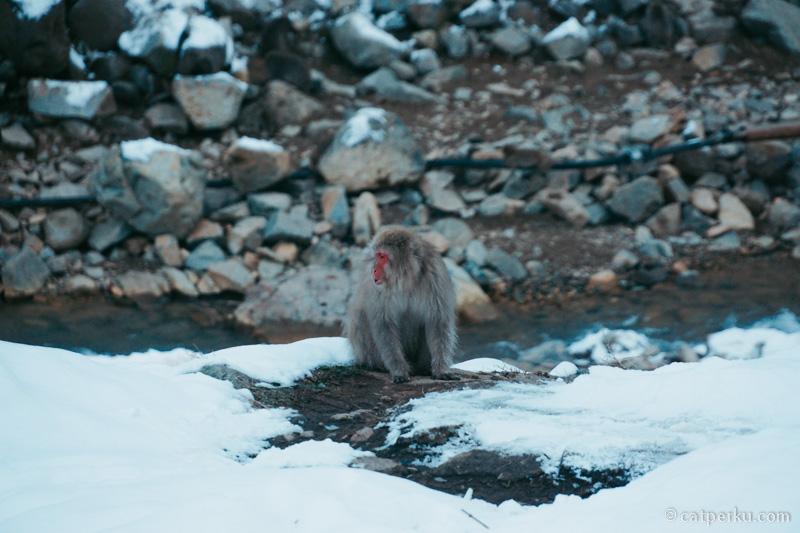 Saya bahkan sudah melihat sekor monyet salju yang penasaran sesaat sebelum sampai di onsen tempat para monyet ini berkumpul