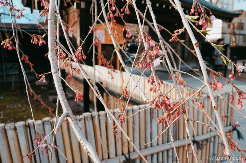 Saya datang terlalu cepat, jadi Bunga Sakura di Kakunodate belum mekar sempurna.