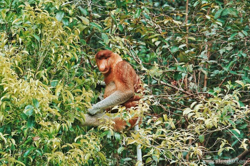Setelah gagal mengabadikan para Bekantan di Pulau Kaget, saya berhasil mengabadikan mereka di Taman Nasional Tanjung P!