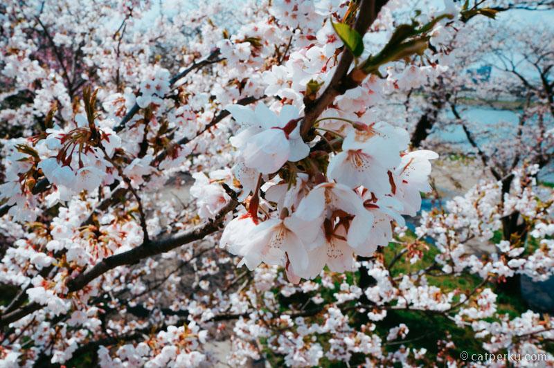 Sudah pernah melihat sakura yang mekar sempurna dari jarak sedekat ini?