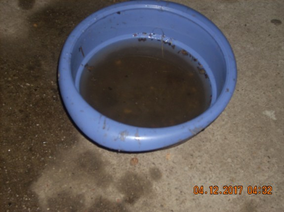 Raccoons wash food in water put out for outdoor cats.