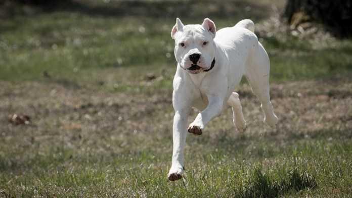 Mendoza: Un perro dogo mató a una niña de un año en su casa