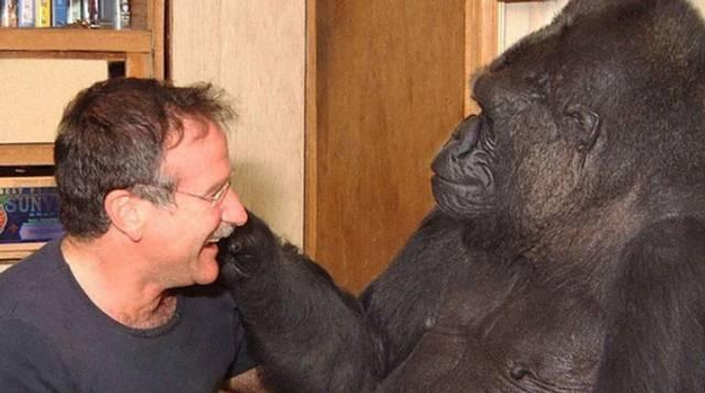 La gorila tuvo un recordado encuentro con el célebro actor Robin Williams en 2001.