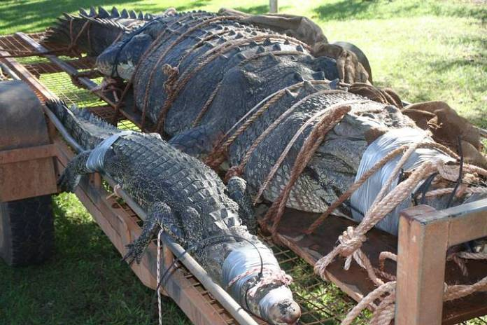 Además del «monstruo» (derecha), los guardias también atraparon a un cocodrilo marino de más de dos metros (izquierda).