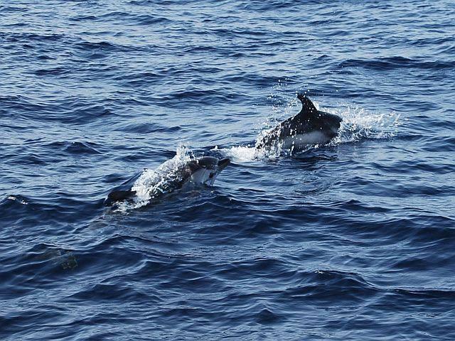 Delfines en al mar Negro.