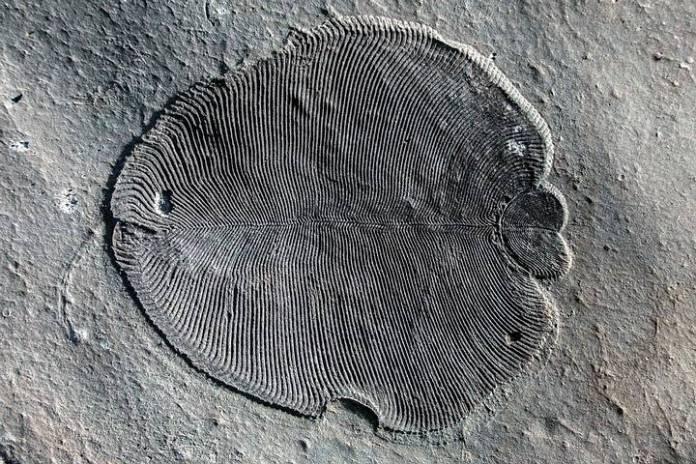 dickinsonia1