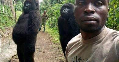 gorilas-guardabosque