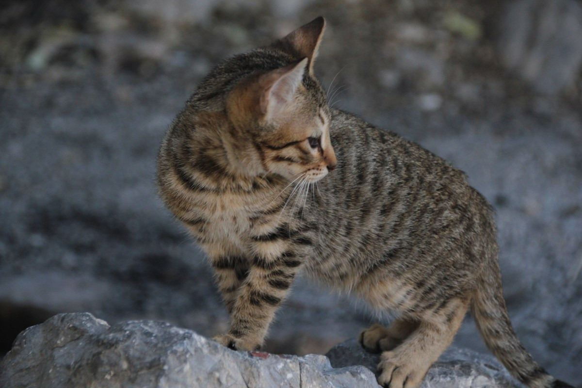 getigerte Katze auf Felsen - Beratung zu Spiel, Beschäftigung, Aggressivem Verhalten, Beißen, Kratzen, Problemen im Mehrkatzenhaushalt, Zusammenführung, Vergesellschaftung von Katzengruppen, Unsauberkeit, Markieren, Katzenklo