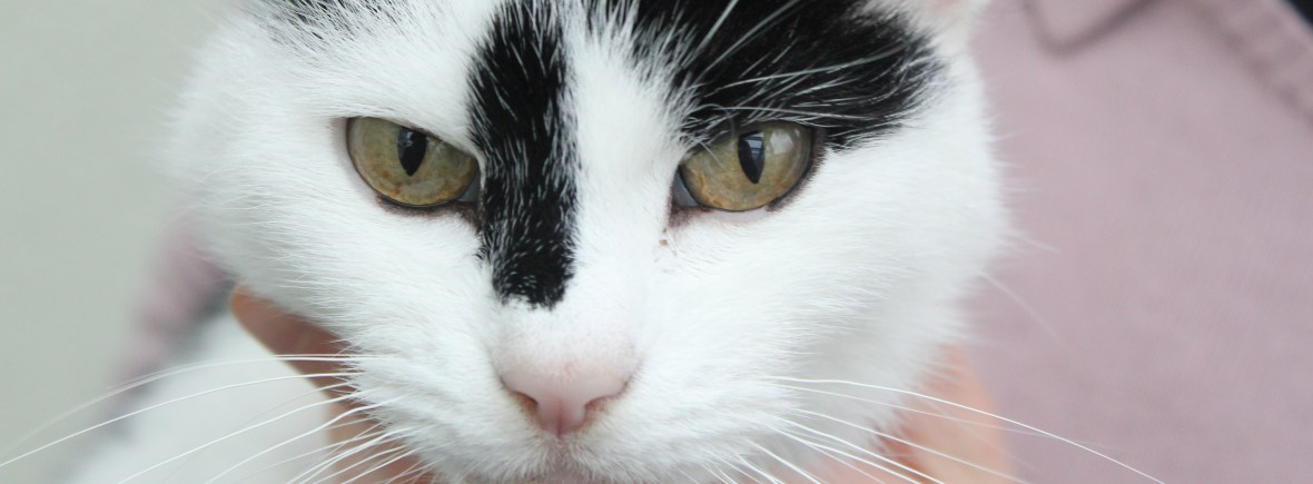 Katze sitzt auf Arm, guckt frontal in Kamera - Beratung zu richtiger Auswahl bei Kauf, Vermittlung, Aufnahme von Katze in Haushalt: Welche Katze passt zu mir