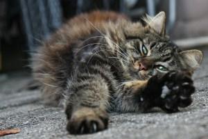 Getigerte Katze räkelt sich auf dem Boden - Katzenpsychologin Berlin Katzenberatung Katzenexpertin Katzenpsychologie Vergesellschaftung Zusammenführung neue katze zieht ein