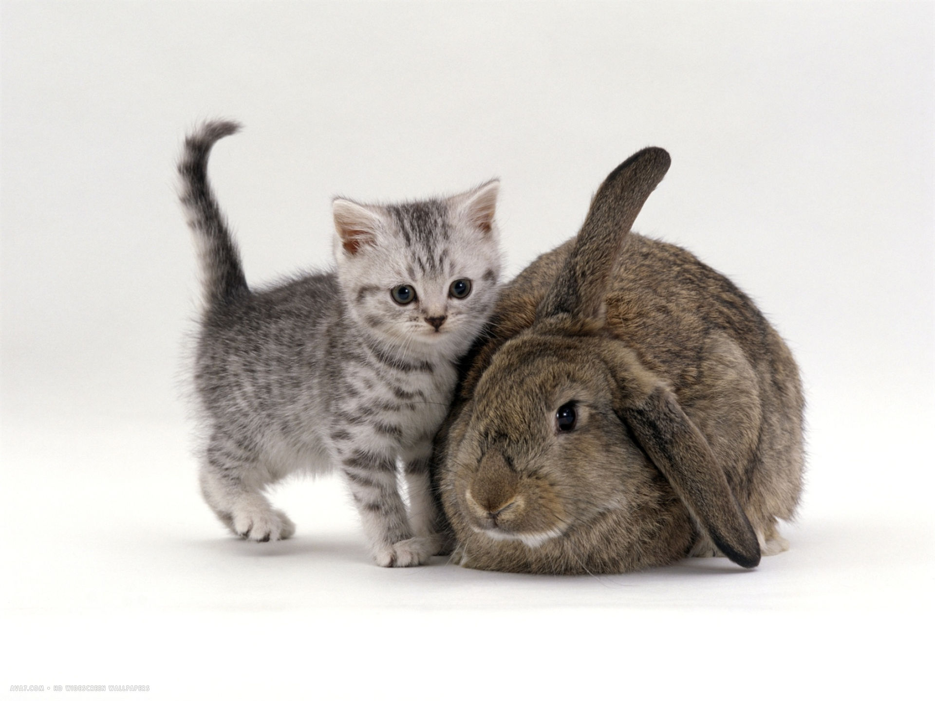 Tablet Wallpaper Hd Silver Spotted Kitten With Agouti Lop Rabbit Cats And