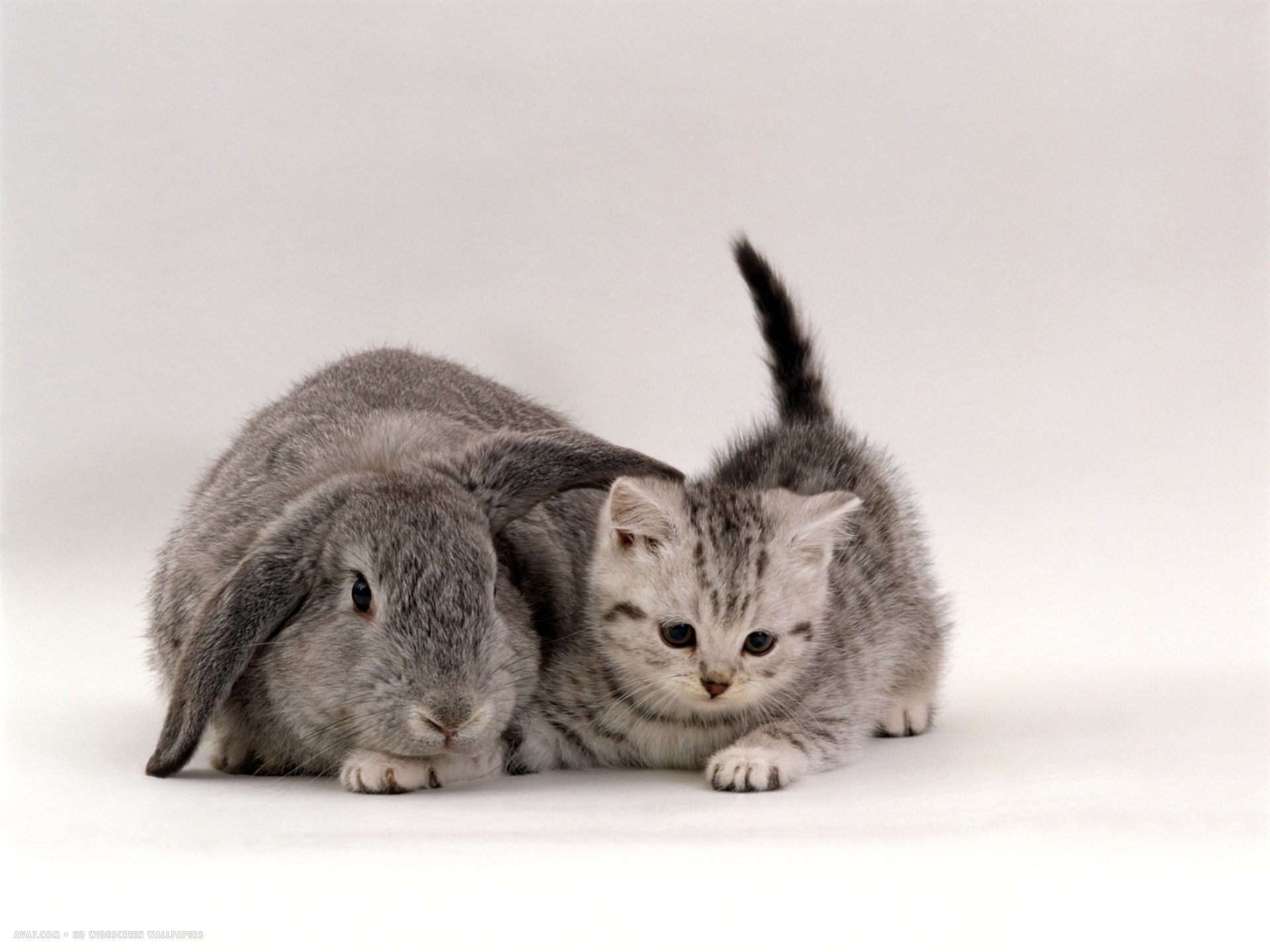 Cute Bengal Cats Wallpaper Silver Spotted Kitten With Silver Lop Eared Rabbit Colour