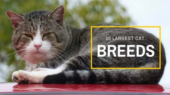 biggest house cat the most expensive cat breeds in world purrfect - Biggest Cat In The World Guinness 2013