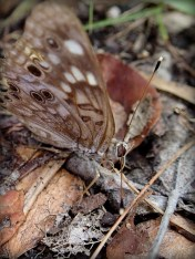 Butterfly with curly mouthparts
