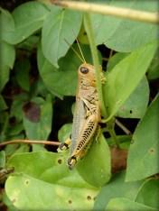 Closeup of grasshopper