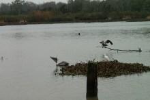 pelican09