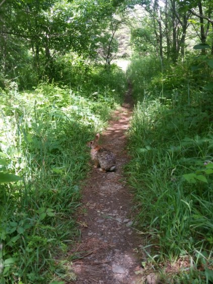 Trail rabbit!