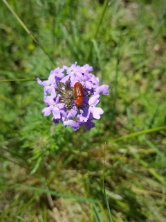 Beetle on purple flowers.