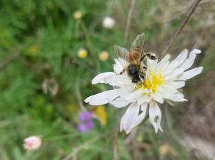 Bee on white wildflower with tattered petals.